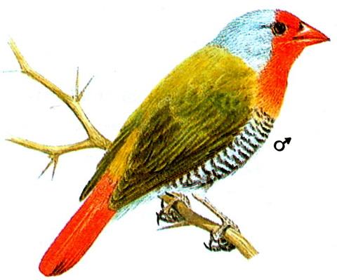 Зеленокрылая питилия (Pytilia melba)