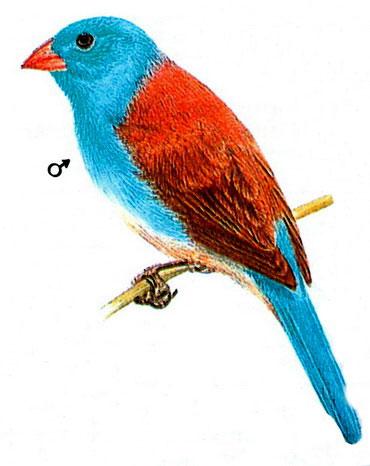 Синеголовый астрильд (Uraeginthus cyanocephala)