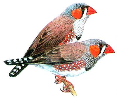 Зебровая амадина (Poephila guttata)