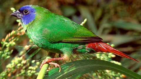 Трехцветная попугайная амадина (Erythrura trichroa)