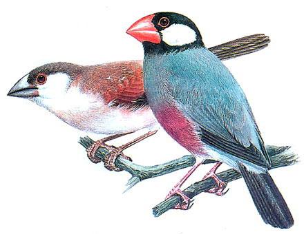 Рисовка (Padda oryzivora)