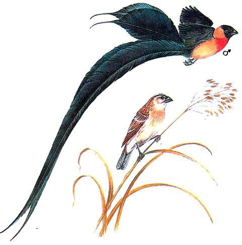 Райская вдовушка (Vidua paradisaea)