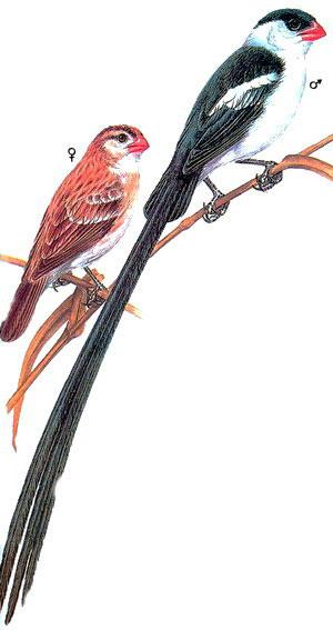 Острохвостая вдовушка (Vidua macroura)