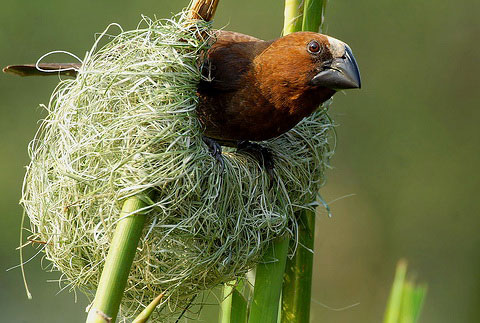 Толстоклювый ткачик (Amblyospiza albifrons)