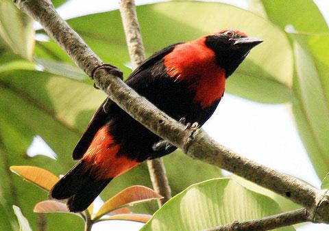 Красногрудый лесной ткачик (Malimbus scutatus)