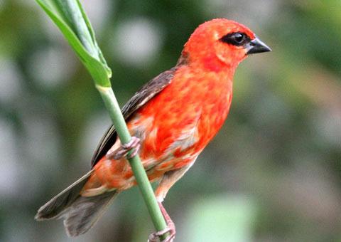 Красный мадагаскарский фуди (Foudia madagascariensis)