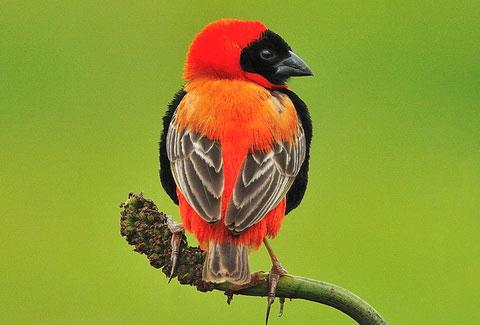 Красный огненный ткач (Euplectes orix)