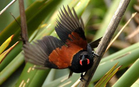 Рыжеспинный новозеландский скворец (Philesturnus carunculatus)