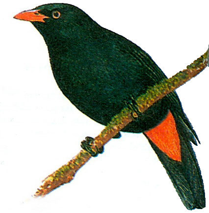Черная иволга (Oriolus husii)