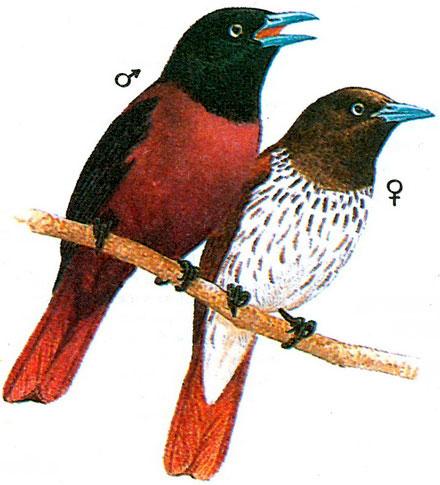 Черноголовая иволга (Oriolus trailii)