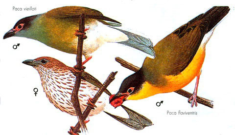 Тиморская фиговая иволга (Sphecotheres viridis)