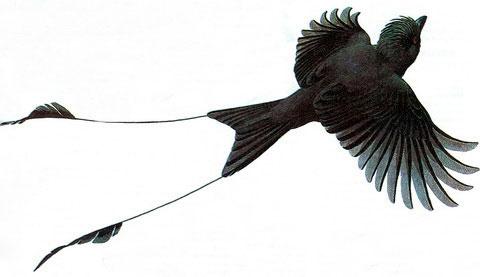 Райский дронго (Dicrurus paradiseus)