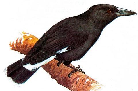 Пестрохвостая ворона-флейтист (Strepera graculina)