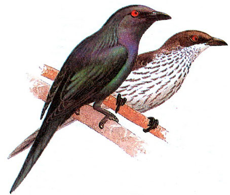Молуккский скворец (Aplonis metallica)