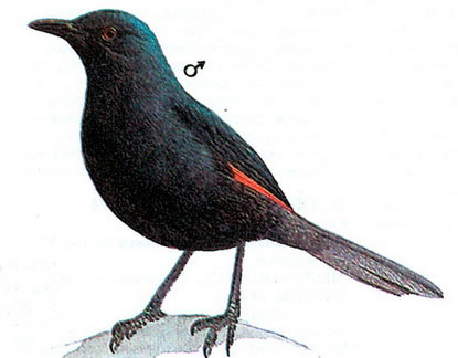 Тристрамский скворец (Onychognathus tristramii)
