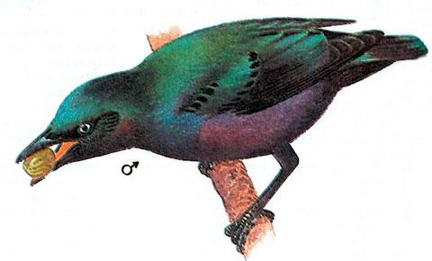 Блестящий скворец (Lamprotornis splendidus)