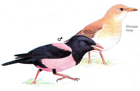 Розовый скворец (Sturnus roseus)