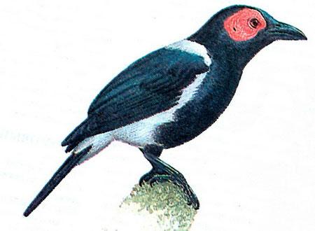 Лысый скворец (Sarcops calvus)