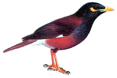 Обыкновенная майна (Acridotheres tristis)