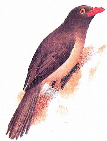 Красноклювый буйволовый скворец (Buphagus erythrorhynchus)
