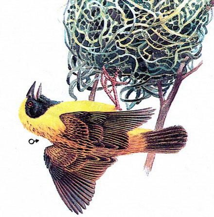 Деревенский ткачик (Ploceus cucullatus)