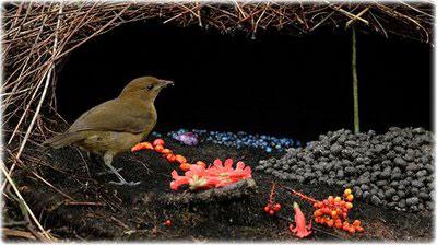 Бурый садовник (Amblyornis inornatus)