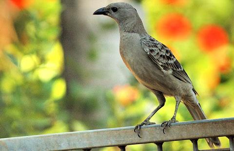 Большая беседковая птица (Chlamydera nuchalis)