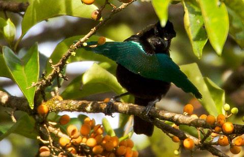 Чудная райская птица (Lophorhina superba)