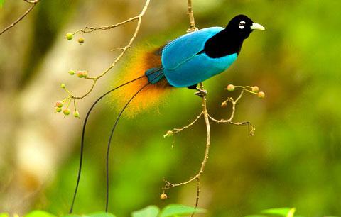 Синяя райская птица (Paradisaea rudolphi)