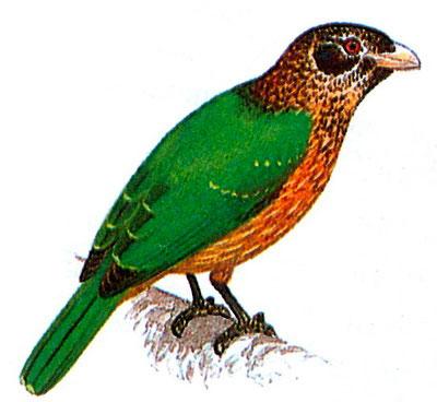 Зеленая птица-кошка (Ailuroedus melanotis)