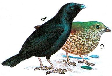 Атласный шалашник (Ptilonorhynchus violaceus)