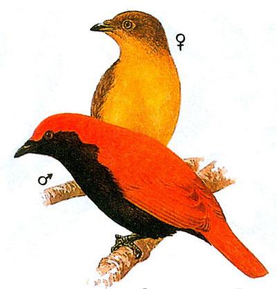 Многохохлая райская птица (Cnemophilus macgregorii)