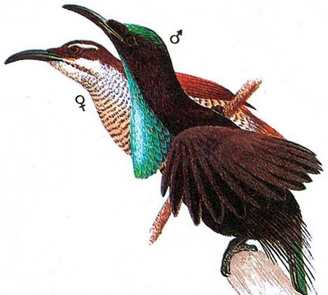 Великолепная щитоносная райская птица (Ptiloris magnificus)