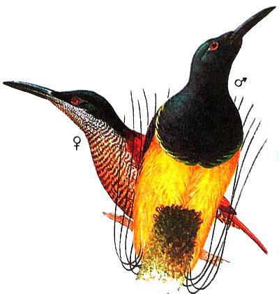 Нитчатая райская птица (Seleucidis melanoleuca)