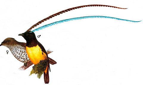 Чешуйчатая райская птица (Pteridophora alberti)