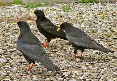Черная сорока (Ptilostomus afer)