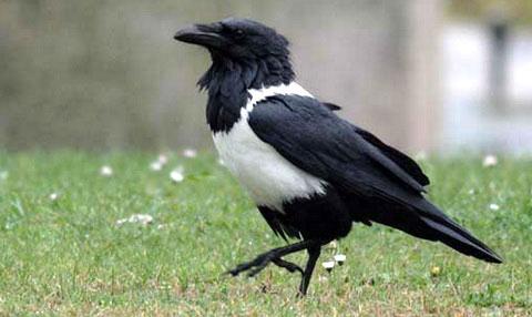 Пегий ворон (Corvus albus)