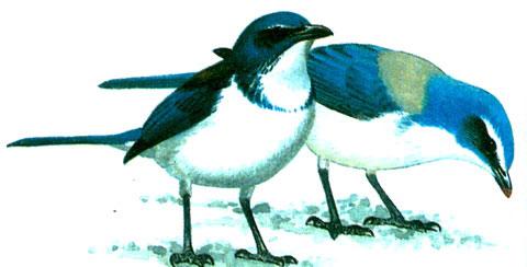 Кустарниковая сойка (Aphelocoma coerulescens)