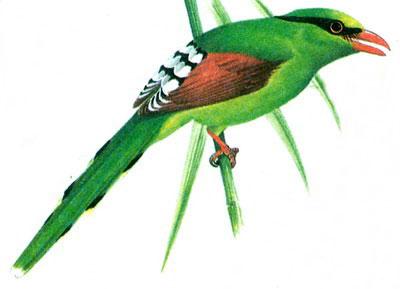 Зеленая сорока (Cissa chinensis)
