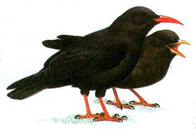 Клушица (Pyrrhocorax pyrrhocorax)