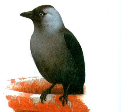 Галка обыкновенная (Corvus monedula)