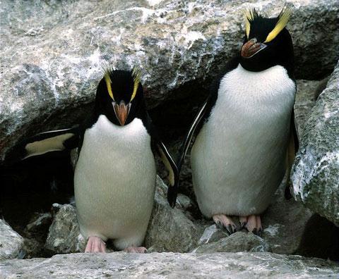 Большой хохлатый пингвин (Eudyptes sclateri)