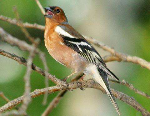 ...чив, то знайте, это для вас поёт зяблик - одна из самых многочисленных птиц средней полосы России.