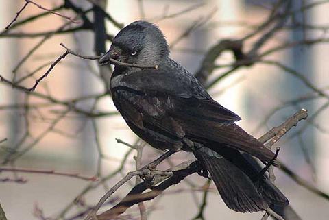 Обыкновенная галка (Corvus monedula)