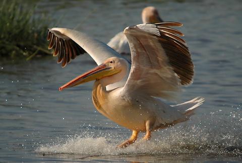 Розовый пеликан (Pelecanus onocrotalus)