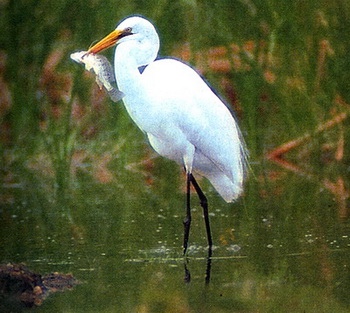 Большая белая цапля (Egretta alba)