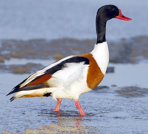 Фотография вы найдете в каталоге: хищные птицы ленинградской области.