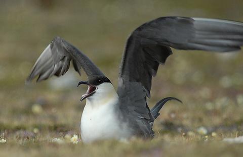 Длиннохвостый поморник (Stercorarius longicaudus)
