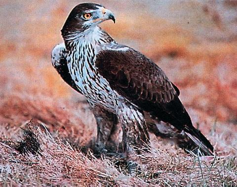 Длиннохвостый орел (Hieraaetus fasdatus)