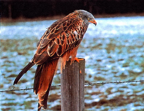 Красный коршун (Milvus milvus)